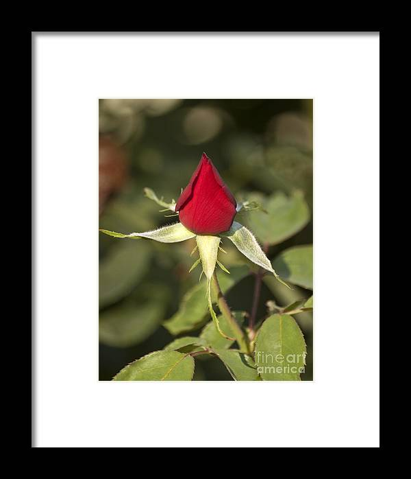 Bright Framed Print featuring the photograph Single Bright Red Rose Bud by Mark Hendrickson