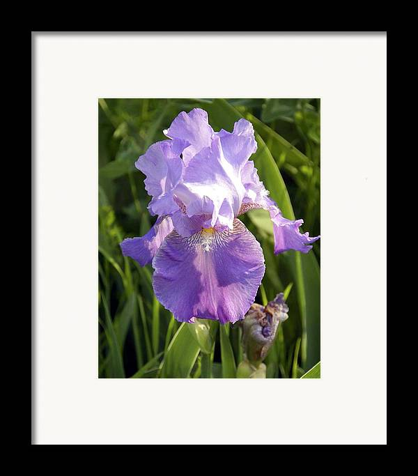 Floral Framed Print featuring the photograph Single Iris In Bloom by George Ferrell