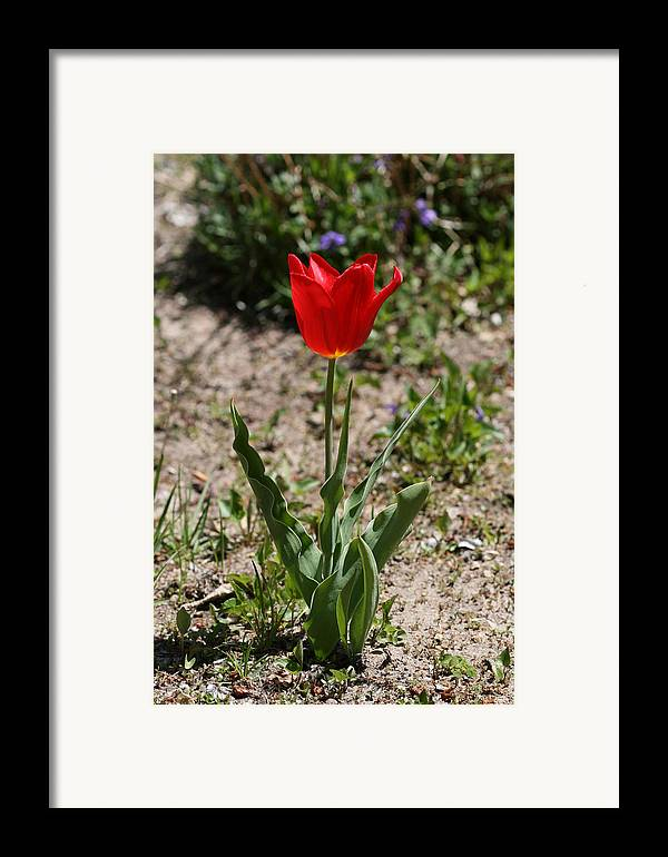 Tulip Framed Print featuring the photograph Single Tulip by Janet Hall