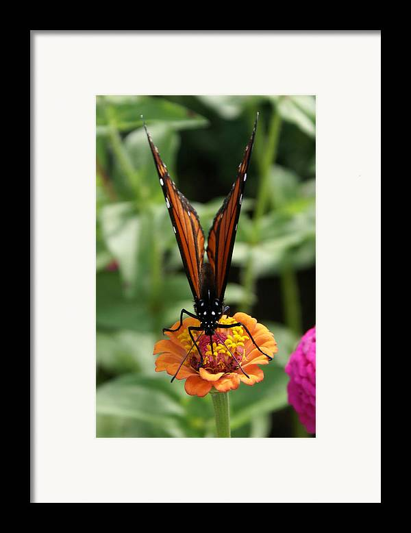 Butterflies Framed Print featuring the painting Sip Sip Away by Debbie May
