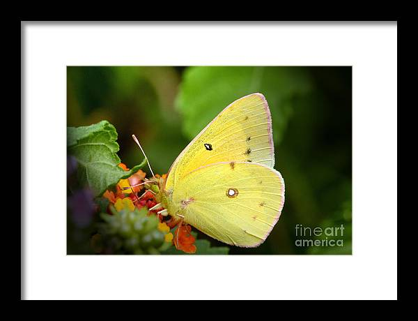 Yellow Framed Print featuring the photograph Sipping Nectar by Jeannie Burleson