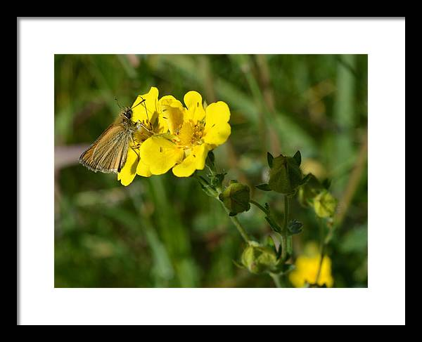 Butterfly Framed Print featuring the photograph Sipping Necter by Ed Mosier