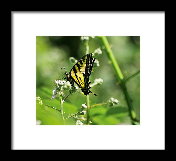 Butterfly Framed Print featuring the photograph Sipping On Blackberry Blossoms by Teresa A Lang