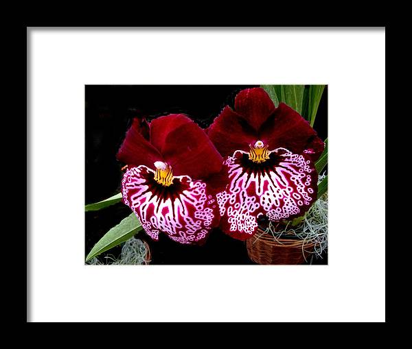 Orchids Framed Print featuring the photograph Sister Orchids by Jeanette Oberholtzer