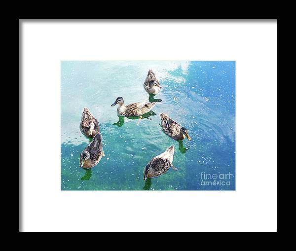 Happy Ducks Swimming On Beautiful Blue And Green Water Framed Print featuring the photograph Six Ducks Swim Together by Expressionistart studio Priscilla Batzell