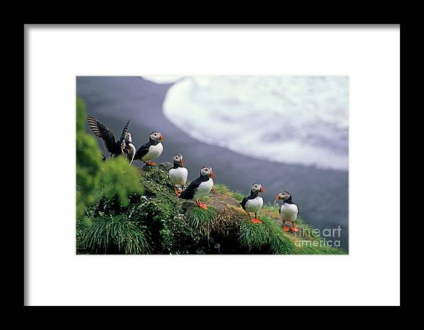 Adorable Framed Print featuring the photograph Six Puffins Perched On A Rock by Sami Sarkis