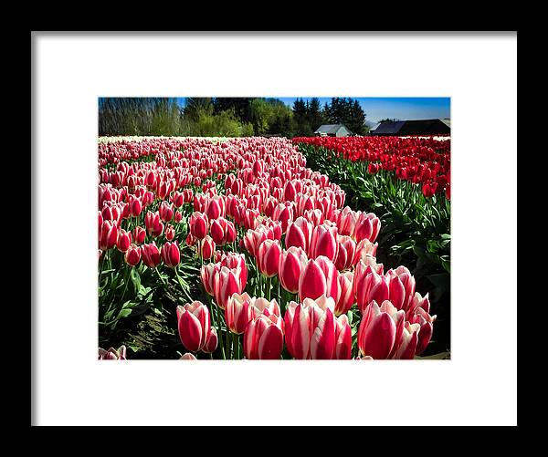 Tulip Framed Print featuring the digital art Skagit County Tulip Festival by Mia DeBolt