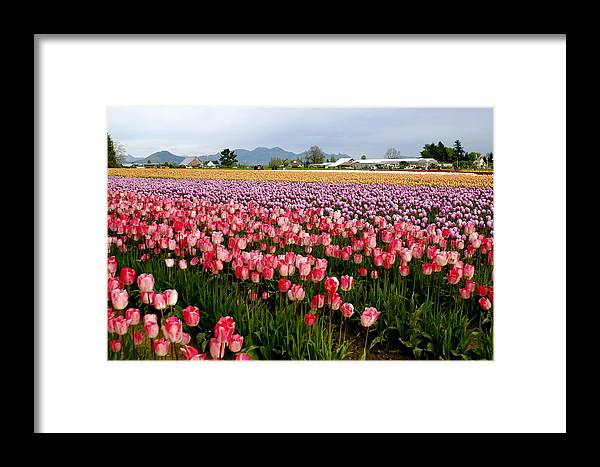 Tulip Farm Framed Print featuring the photograph Skagit Valley Tulip Festival by Sonja Anderson