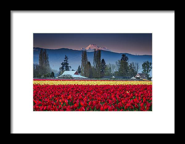 Skagit Framed Print featuring the photograph Skagit Valley Tulips-mt. Baker by Jon Reiswig