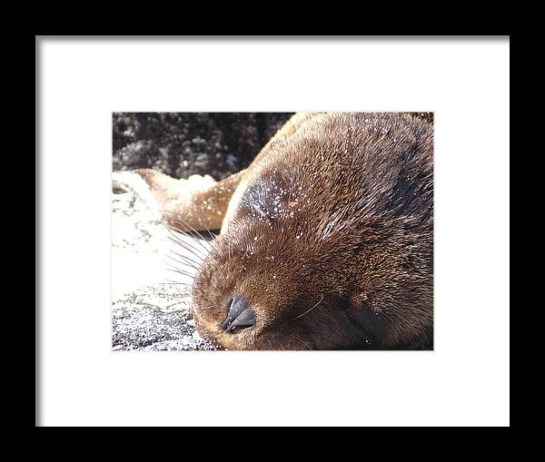 Animal Framed Print featuring the photograph Sleeping Sea Lion by Chad Natti