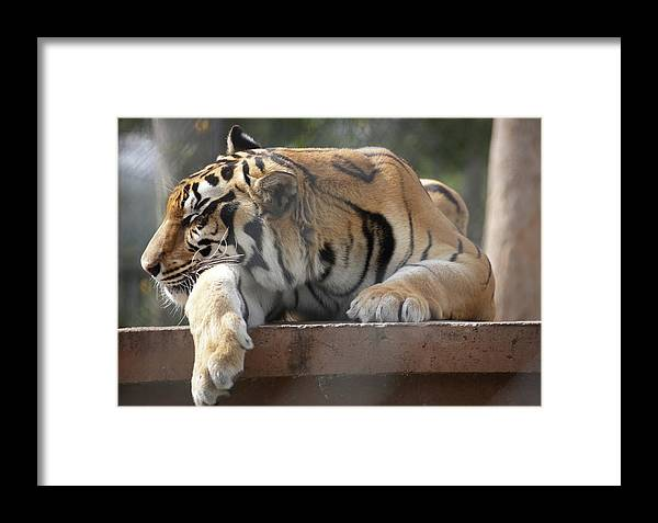 Tiger Framed Print featuring the photograph Sleeping Tiger by Jim Allsopp