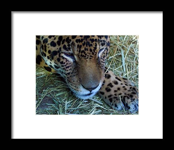 Leopard Framed Print featuring the photograph Sleepy Leopard by Lori Seaman