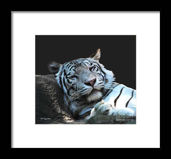 white Tiger Framed Print featuring the photograph Sleepy Tigress by DiDi Higginbotham