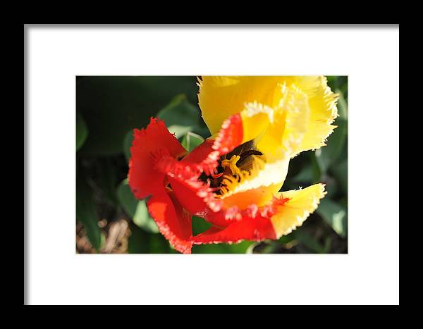 Tulip Framed Print featuring the photograph Slplit Personality by Jennifer Englehardt
