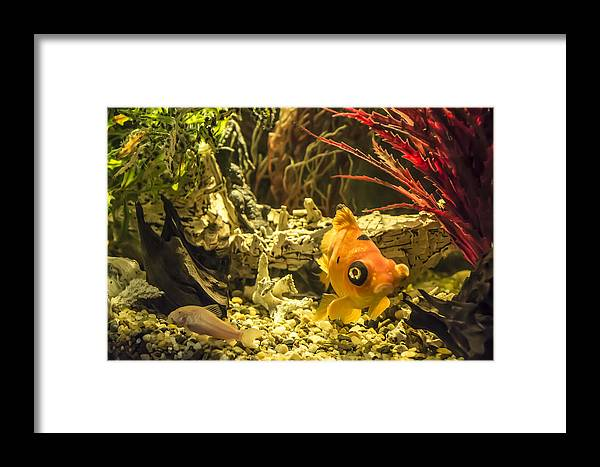 Fish Framed Print featuring the photograph Small Fish In An Aquarium by Adrian Georgescu