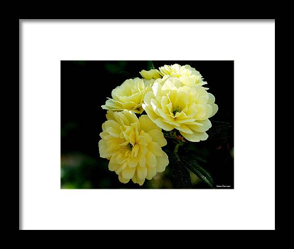 Nature Framed Print featuring the photograph Small Yellow Roses by Johann Todesengel