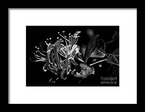 Framed Print featuring the photograph Smell That Honeysuckle by Skip Willits