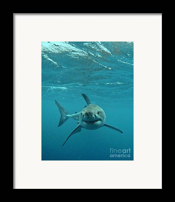 Great White Shark Framed Print featuring the photograph Smiley Shark by Crystal Beckmann