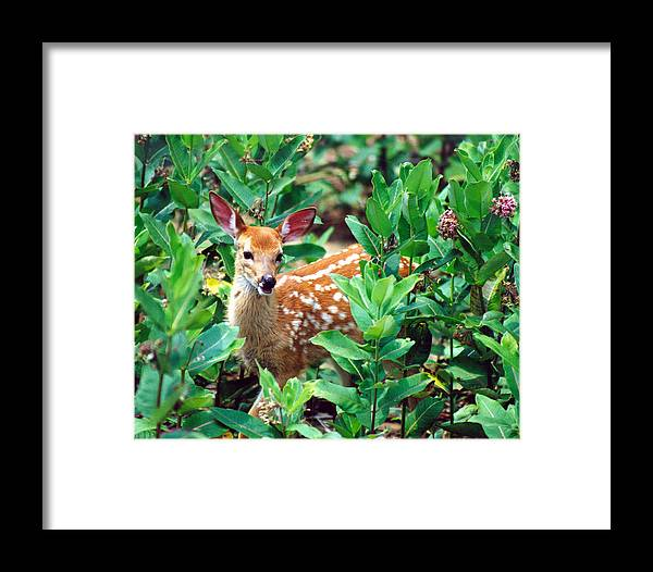 Wildlife Framed Print featuring the photograph Smiling Fawn by John Burk