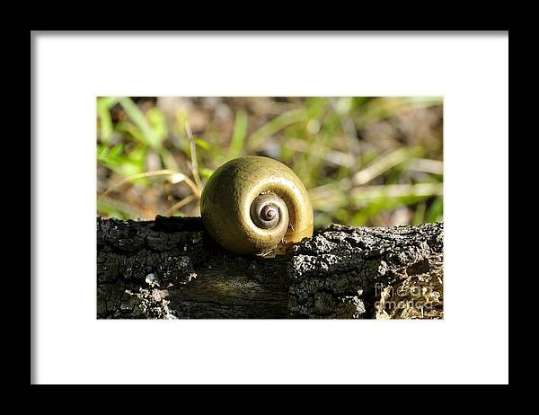Snail Framed Print featuring the photograph Snail by David Lee Thompson