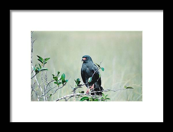 Birds Framed Print featuring the photograph Snail Kite by Cindy Gregg