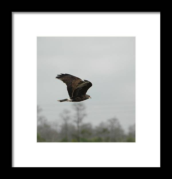 Bird Framed Print featuring the pyrography Snail Kite by Judd Nathan