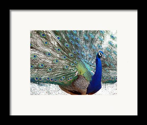 Snake Framed Print featuring the photograph Snake Farm Peacock by Kim