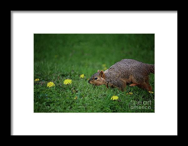 Animal Framed Print featuring the photograph Sneaking Squirrel by Laura Birr Brown