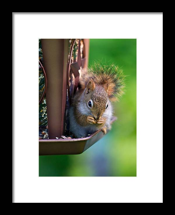 Squirrel Framed Print featuring the photograph Sneaky Red Squirrel by Edward Myers