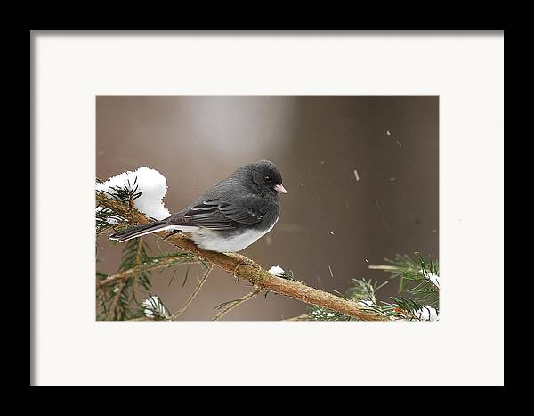 Snow Bird Framed Print featuring the photograph Snow Bird by Alan Lenk