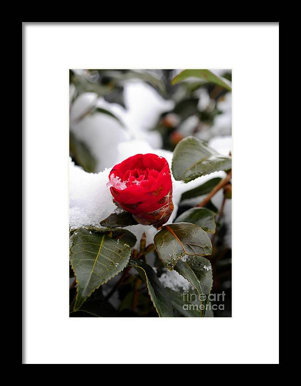 Snow Framed Print featuring the photograph Snow Flower by Maureen Norcross