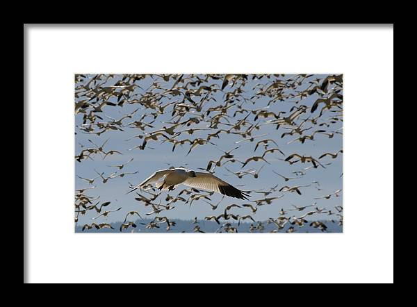 Snow Framed Print featuring the photograph Snow Goose by Alasdair Turner