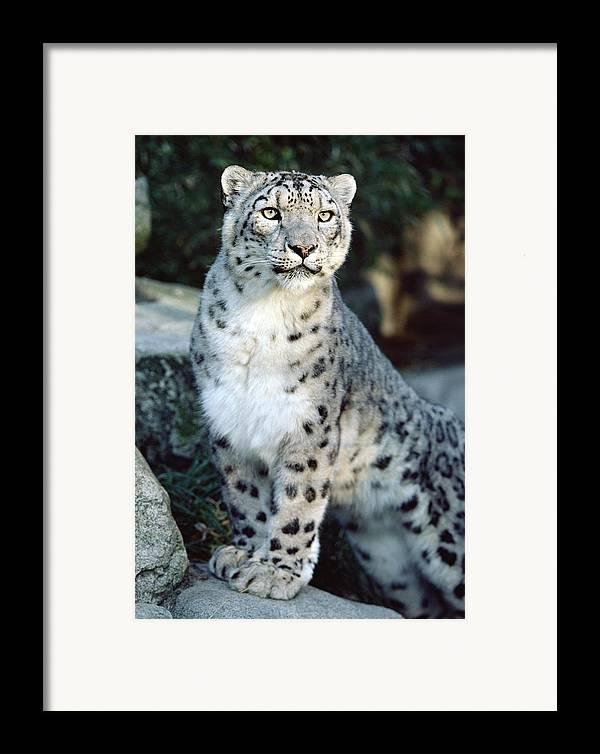 Mp Framed Print featuring the photograph Snow Leopard Uncia Uncia Portrait by Gerry Ellis