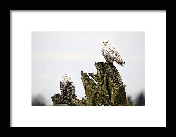 Snowy Owls Framed Print featuring the photograph Snow Owls Of Boundary Bay by Pierre Leclerc Photography