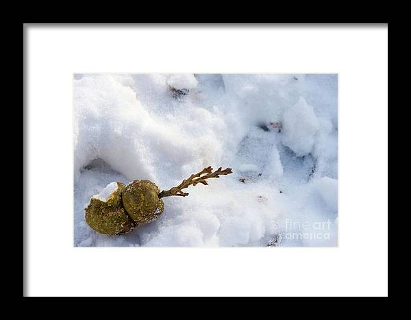 Beautiful Framed Print featuring the photograph Snow Sprouts by Alan Look