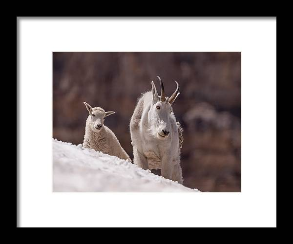 Mountain Goat Framed Print featuring the photograph Snowfield by Kent Keller