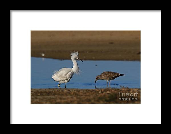 Snowy Framed Print featuring the photograph Snowy And The Gull by Craig Corwin