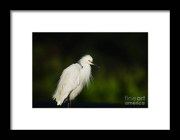 Snowy Egret Framed Print featuring the photograph Snowy Egret 4 by Julie Adair