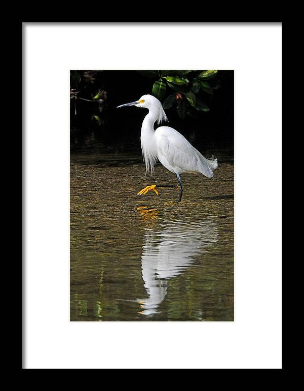 Egret Framed Print featuring the photograph Snowy Egret by Alan Lenk