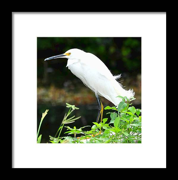 Snowy Egret Framed Print featuring the photograph Snowy Egret In The Everglades by Amy Spear