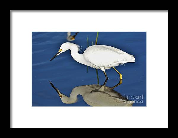 Snowy Egret Framed Print featuring the photograph Snowy Egret Reflection by Julie Adair
