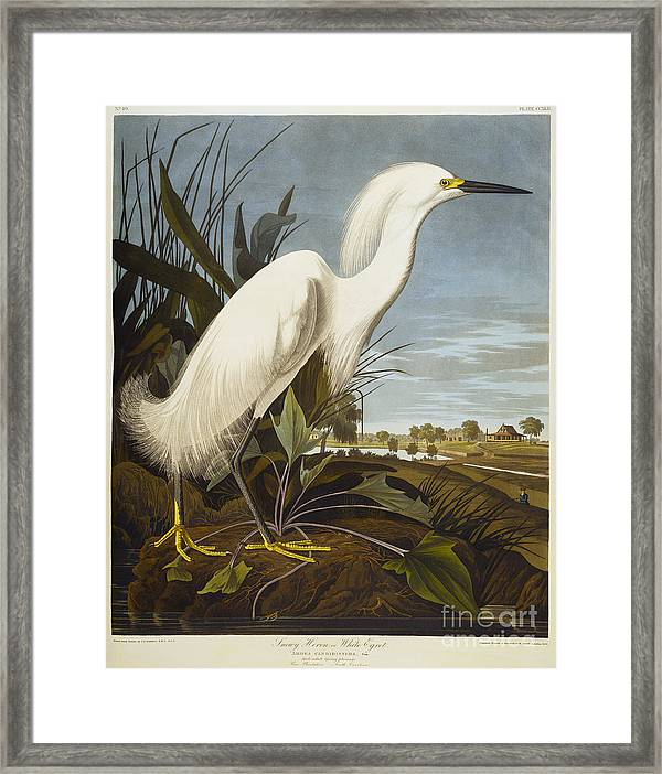 Snowy Heron Framed Print By John James Audubon