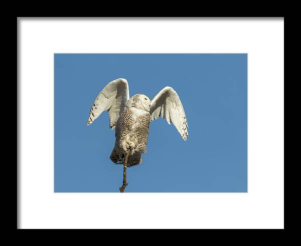 Snowy Owl (bubo Scandiacus) Framed Print featuring the photograph Snowy Owl 2018-17 by Thomas Young
