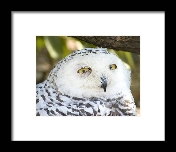 Owl Framed Print featuring the photograph Snowy Owl by Jerry Weinstein