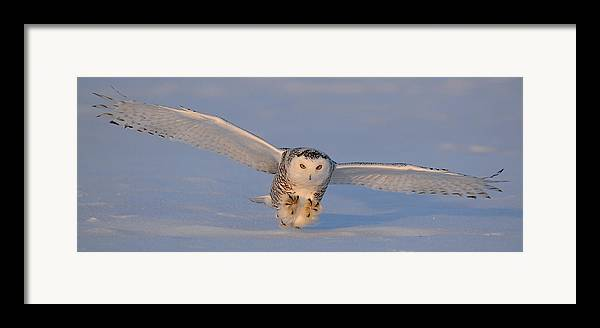Snowy Framed Print featuring the photograph Snowy Owl Last Light by Scott Linstead