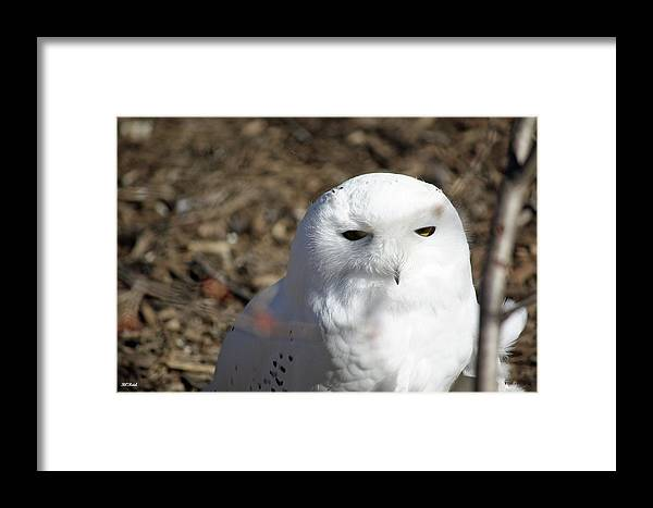 Maryland Framed Print featuring the photograph Snowy Owl by Ronald Reid
