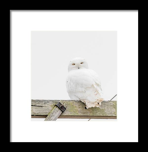 Visual Framed Print featuring the photograph Snowy Owl by Victor Hiltz