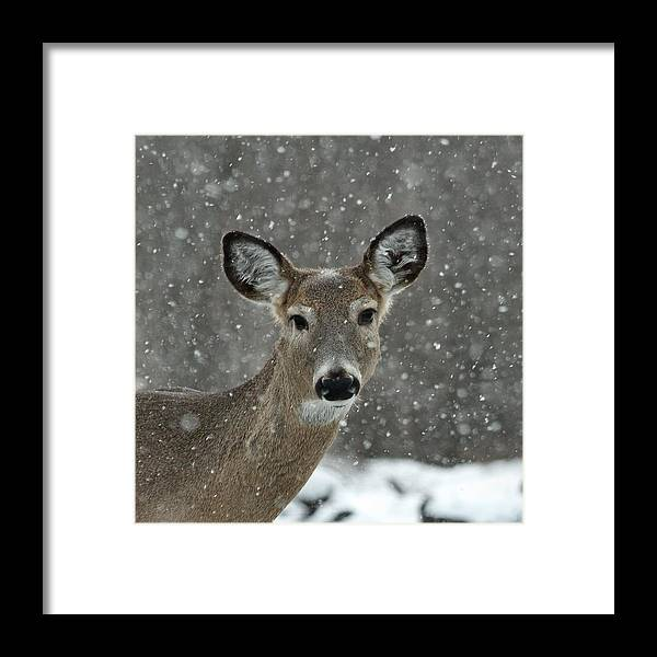 Winter Deer Framed Print featuring the photograph Snowy Winter Deer by Gothicrow Images