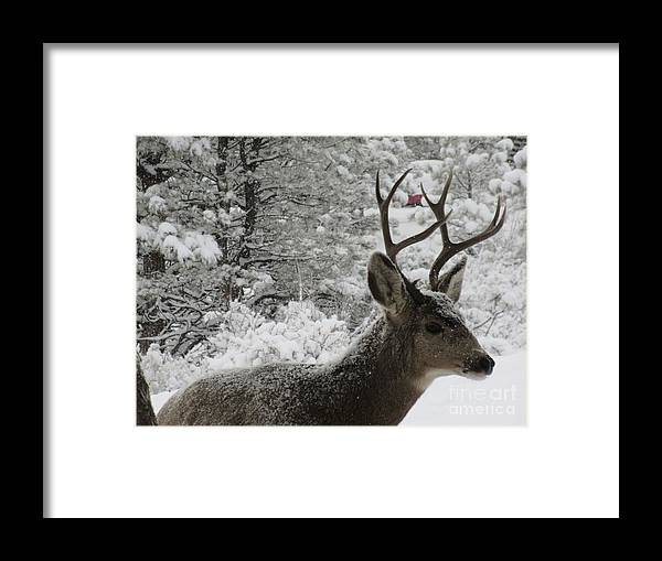 Buck Framed Print featuring the photograph Snowy Young Buck by Jeff Birr