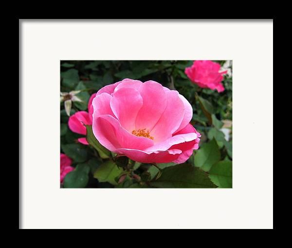 Flower Framed Print featuring the photograph So Pretty by Rhonda Barrett